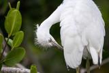 Fuzzy head of a young Great egret bird Ardea alba - 207779615