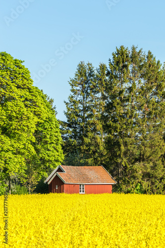 Plexiglas Geel Red cottage by the woods edge and a yellow rapeseed field