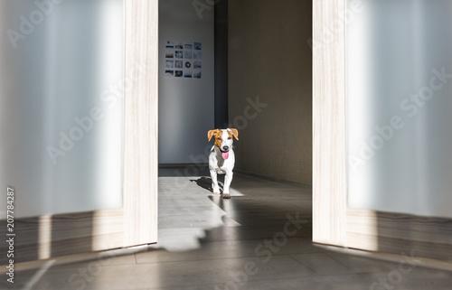 Leinwanddruck Bild Cute dog at home. Puppy jack russell terrier