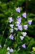 Leinwanddruck Bild - Pfirsichblättrige Glockenblume, Campanula persicifolia,
