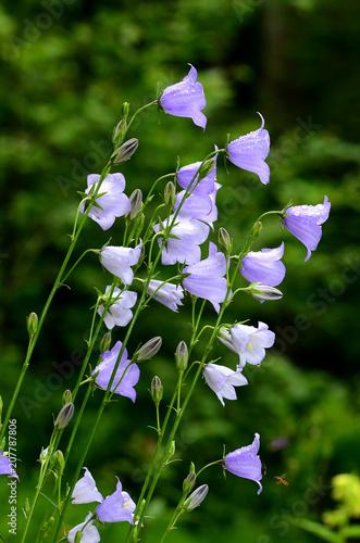 Leinwanddruck Bild Pfirsichblättrige Glockenblume, Campanula persicifolia,