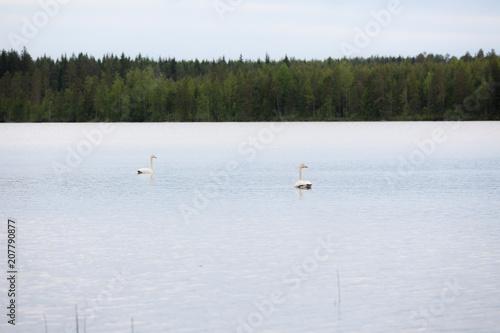 Aluminium Zwaan Whooper swan swimming on lake at summer