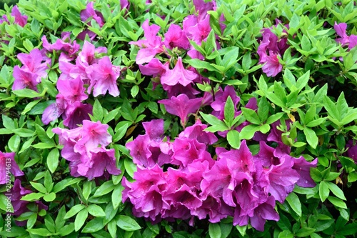 Aluminium Azalea 赤紫のツツジ 花壇