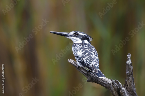 Pied Kingfisher fishing from a branch in Kruger National Park in South Africa
