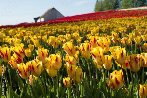 Fotobehang Tulpen Field of tulips with barn landscape beautiful background