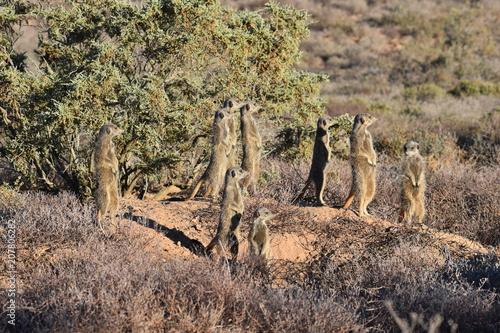 Fotobehang Cappuccino Cute meerkats in the desert of Oudtshoorn behind a big green tree, South Africa