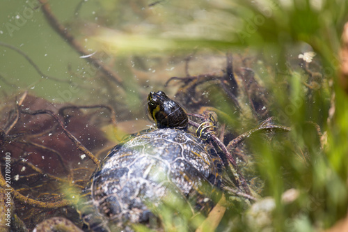 Fotobehang Schildpad Turtle sitting in the water on a pond with green algae