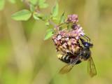 Macro of honey bee (Apis) feeding on pink flower seen from profile - 207811856