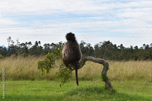Canvas Kameel A big brown baboon is sitting on a tree branch in South Africa