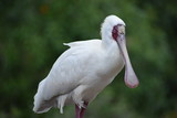 Closeup of a white African Spoonbill with a red pecker in South Africa