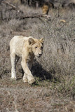 White lion cun in Kruger National Park in South Africa - 207816488