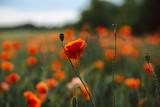 Eine Mohnblume im Fokus