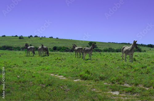 Zebras in Addo park, south africa