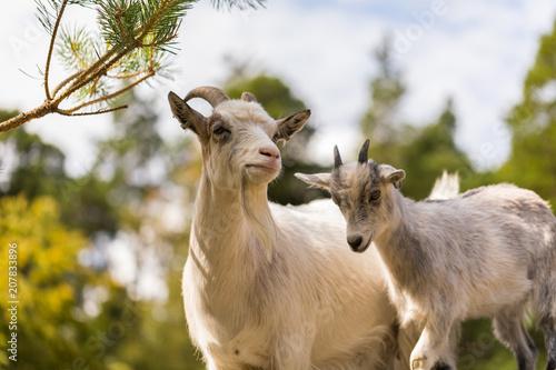 Foto Murales The goats apprentice 1