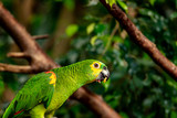 An eating amazon parrot in the jungle