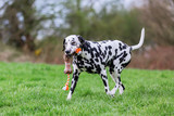 Dalmatian dog runs with a toy in the snout