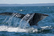 Close encounter with a diving humpback whale lifting its tail flukes out of the water