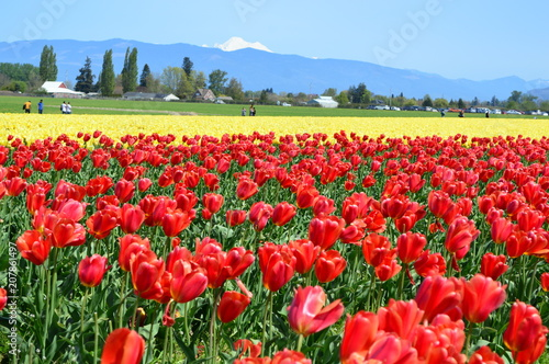 Fotobehang Rood traf. Tulips in the Skagit Valley