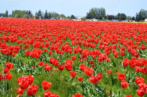 Fotobehang Rood traf. Skagit Valley Red Tulips