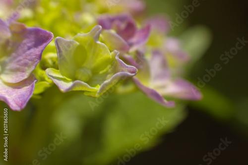 Fotobehang Hydrangea 紫陽花 アジサイ