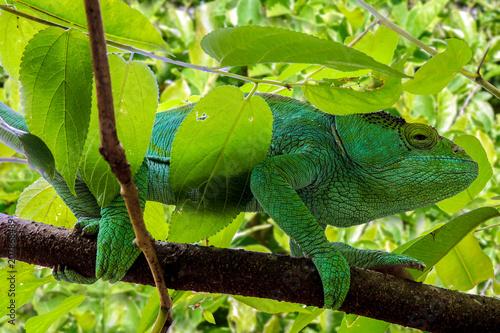 Fototapeta Malagasy Giant Chameleon / Furcifer oustaleti, Madagascar