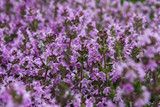 Wild Thymus serpyllum. Medicinal herb.Pink flowers of thyme grow in the field. - 207868607