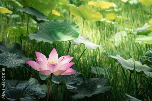 Blooming of lotus flower with the background of green leaves in the blooming of lotus flower with the background of green leaves in the pond mightylinksfo