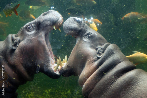 Pygmy hippos are playing in the water.