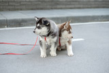 Two little siberian husky puppy outdoor