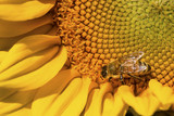 Western honey bee foraging on the disk of a sunflower. - 207877698