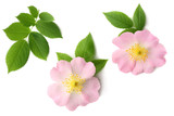 Dogrose flower with green leaf isolated on white background - 207877839