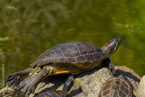 Fotobehang Schildpad Sunbathing of beautiful turtle in pond in a spring day