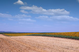 Sunflower field landscape agriculture summer season
