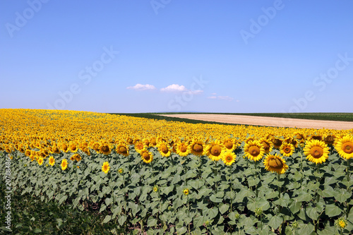 sunflower field landscape summer season