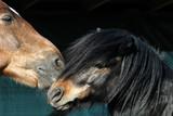 Shetland pony and Finnhorse under shelter at pasture. - 207885667
