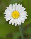 White and yellow single daisy