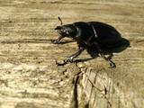 beetle stag beetles