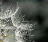 dandelion seed background. Seed macro closeup. Spring nature - 207889819
