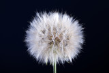 Dandelion seed isolated on a black - 207890245