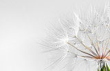 Fototapeta Dmuchawce - dandelion seed background. Seed macro closeup. Spring nature © Pakhnyushchyy