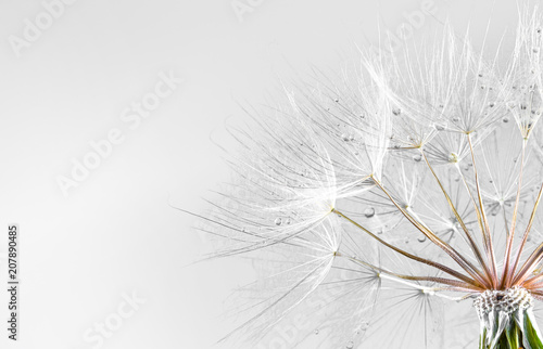 dandelion seed background. Seed macro closeup. Spring nature - 207890485