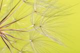dandelion seed background. Seed macro closeup. Spring nature - 207890638