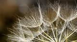 dandelion seed background. Seed macro closeup. Spring nature - 207890660