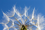 Dandelion with seeds blowing in the  blue sky - 207890676