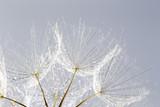 dandelion seed background. Seed macro closeup. Spring nature - 207890696