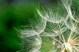 Dandelion seeds in the green background - 207890818