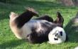 panda - 207897212