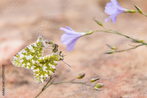 Aluminium Vlinder butterflies in field in spring