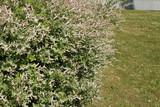 Haie de Salix integra 'Hakuro-Nishiki'