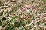Feuillage de Salix integra 'Hakuro-Nishiki'